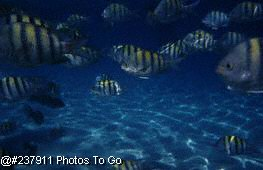 School of striped fish
